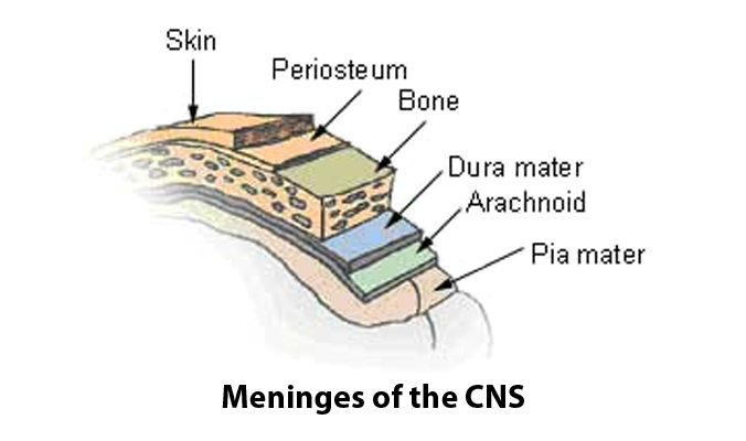 meninges compression fibromyalgia pain